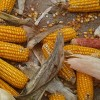 Brazil Farmers Say GMO Corn No Longer Resistant to Bugs