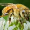 Faulting EPA, Green Leaders Warn Obama: Bees Running Out of Time