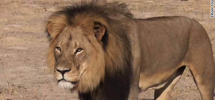 Beloved Zimbabwe Lion Hunted and Murdered By American Dentist.