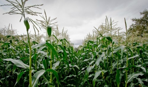 Organic Farmers Score New Victory in 'David and Goliath' GMO Fight